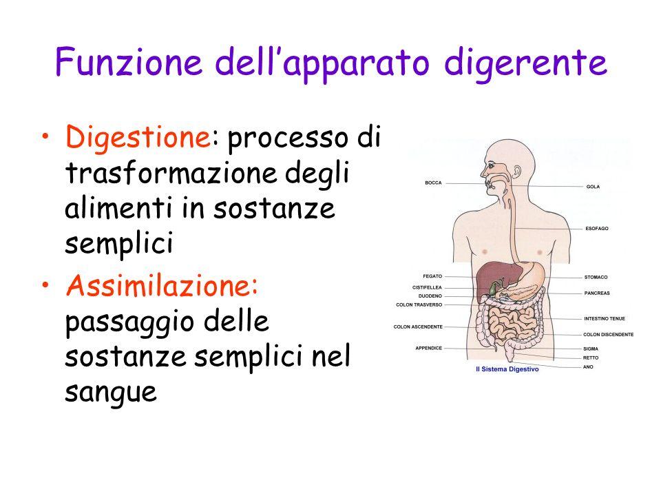 Funzione dellapparato digerente Digestione: processo di trasformazione degli alimenti in sostanze semplici Assimilazione: passaggio delle sostanze sem