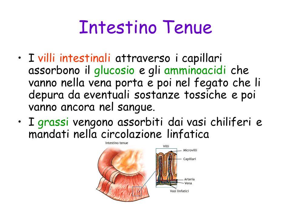 Intestino Tenue I villi intestinali attraverso i capillari assorbono il glucosio e gli amminoacidi che vanno nella vena porta e poi nel fegato che li