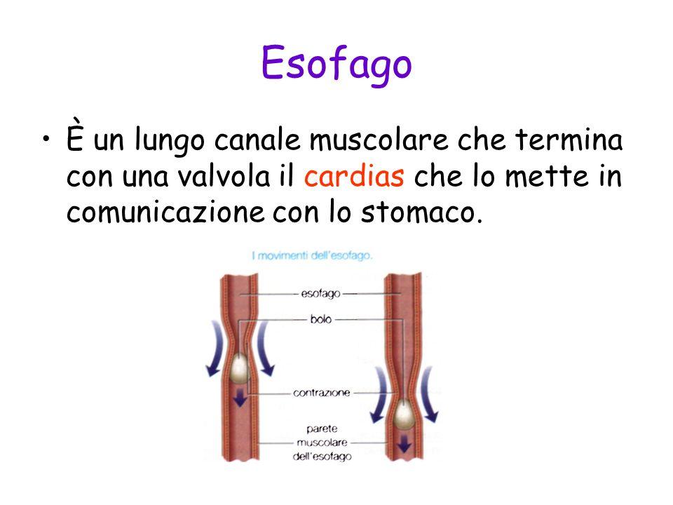 Esofago È un lungo canale muscolare che termina con una valvola il cardias che lo mette in comunicazione con lo stomaco.