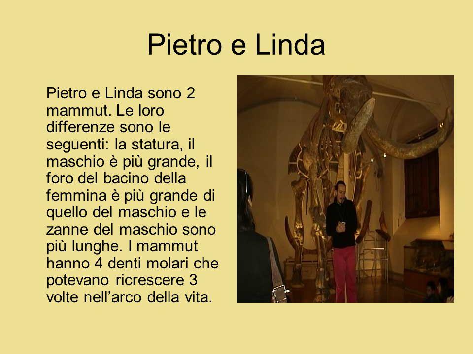 Pietro e Linda Pietro e Linda sono 2 mammut. Le loro differenze sono le seguenti: la statura, il maschio è più grande, il foro del bacino della femmin