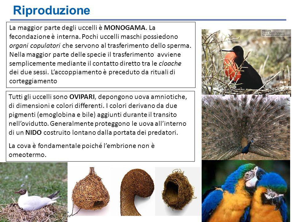 Copyright © 2006 Zanichelli editore La maggior parte degli uccelli è MONOGAMA. La fecondazione è interna. Pochi uccelli maschi possiedono organi copul