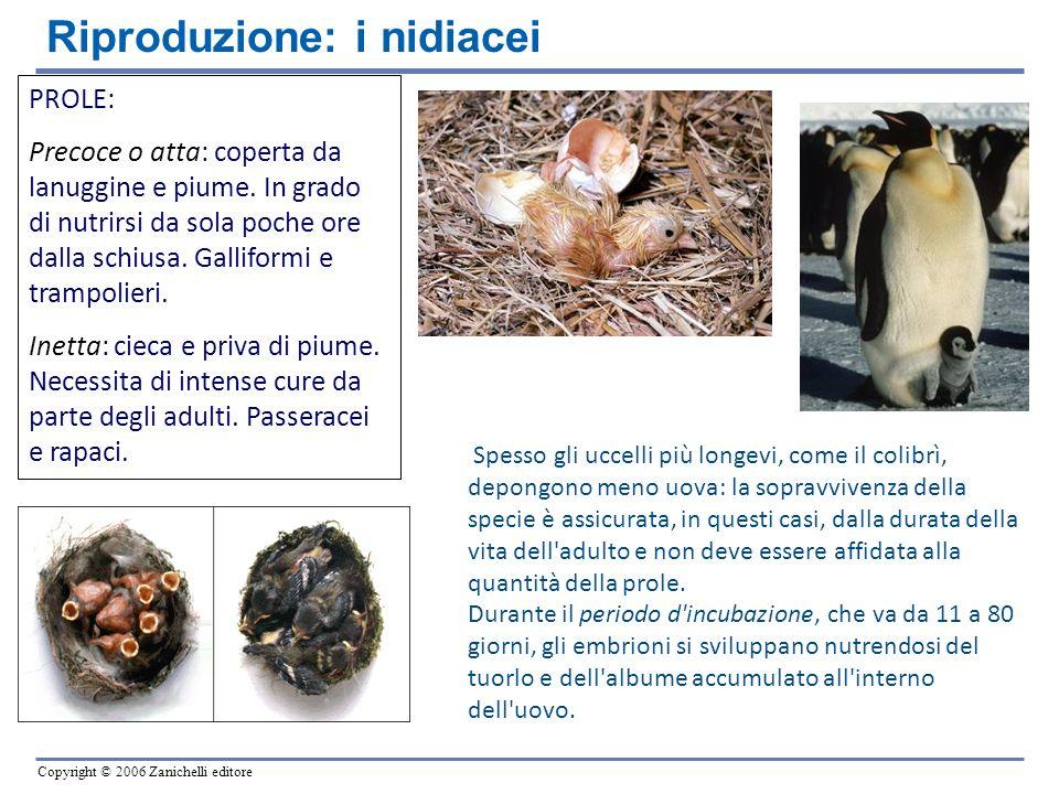 Copyright © 2006 Zanichelli editore PROLE: Precoce o atta: coperta da lanuggine e piume. In grado di nutrirsi da sola poche ore dalla schiusa. Gallifo