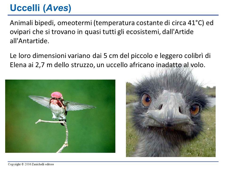 Copyright © 2006 Zanichelli editore Uccelli (Aves) Animali bipedi, omeotermi (temperatura costante di circa 41°C) ed ovipari che si trovano in quasi t
