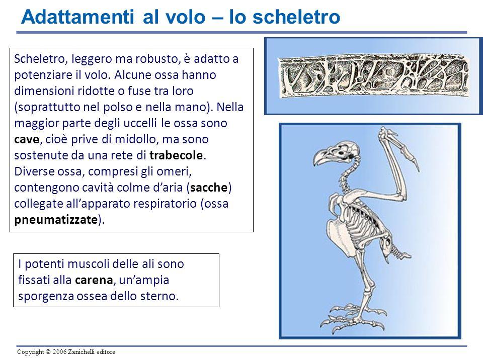 Copyright © 2006 Zanichelli editore Scheletro, leggero ma robusto, è adatto a potenziare il volo. Alcune ossa hanno dimensioni ridotte o fuse tra loro