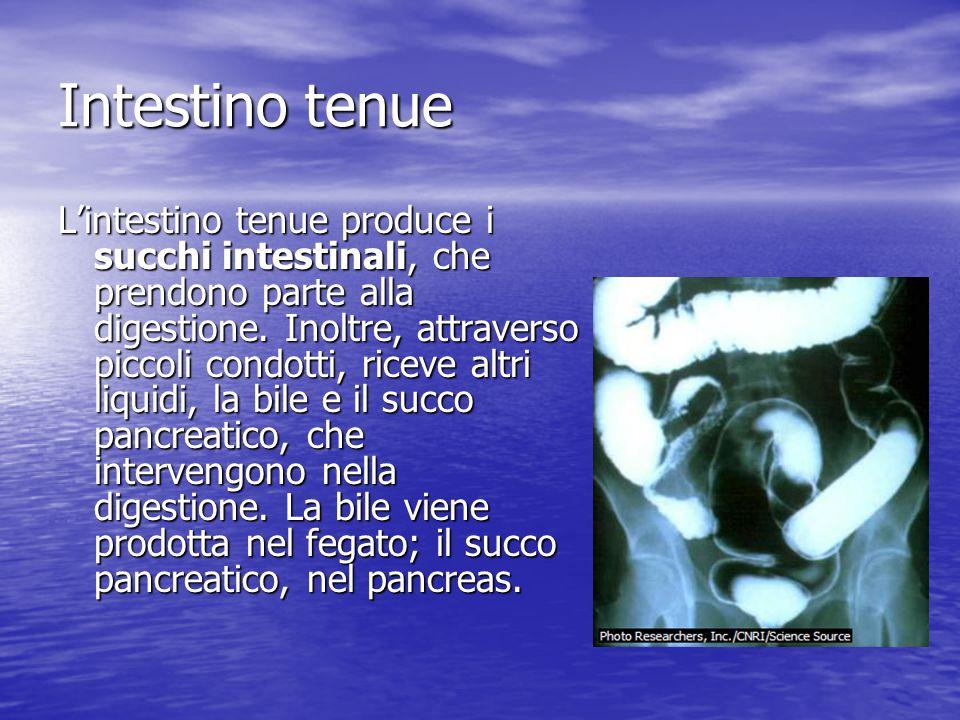 Intestino tenue Lintestino tenue produce i succhi intestinali, che prendono parte alla digestione. Inoltre, attraverso piccoli condotti, riceve altri