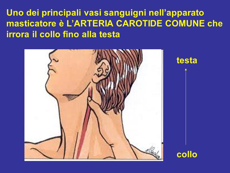 Uno dei principali vasi sanguigni nellapparato masticatore è LARTERIA CAROTIDE COMUNE che irrora il collo fino alla testa collo testa