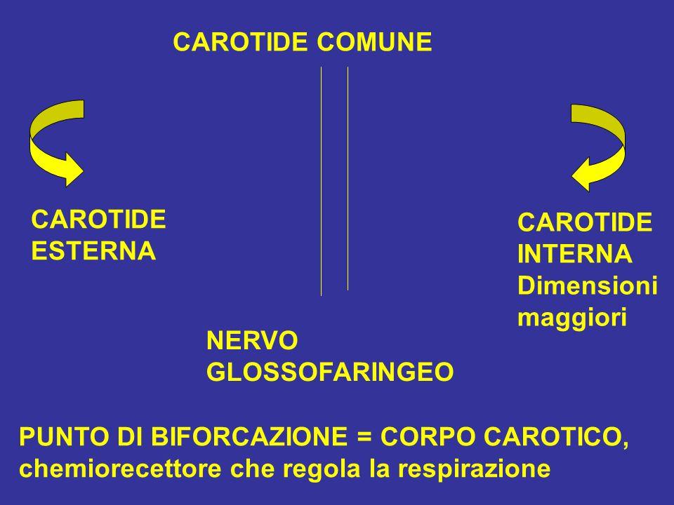 CAROTIDE COMUNE CAROTIDE ESTERNA CAROTIDE INTERNA Dimensioni maggiori NERVO GLOSSOFARINGEO PUNTO DI BIFORCAZIONE = CORPO CAROTICO, chemiorecettore che