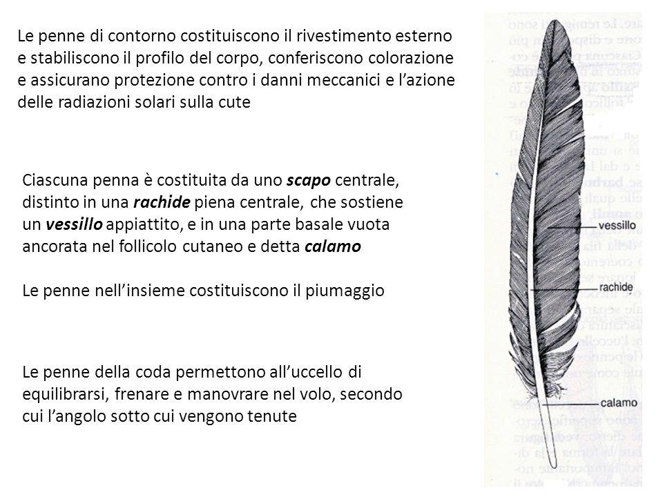 Le penne di contorno costituiscono il rivestimento esterno e stabiliscono il profilo del corpo, conferiscono colorazione e assicurano protezione contro i danni meccanici e lazione delle radiazioni solari sulla cute Ciascuna penna è costituita da uno scapo centrale, distinto in una rachide piena centrale, che sostiene un vessillo appiattito, e in una parte basale vuota ancorata nel follicolo cutaneo e detta calamo Le penne nellinsieme costituiscono il piumaggio Le penne della coda permettono alluccello di equilibrarsi, frenare e manovrare nel volo, secondo cui langolo sotto cui vengono tenute