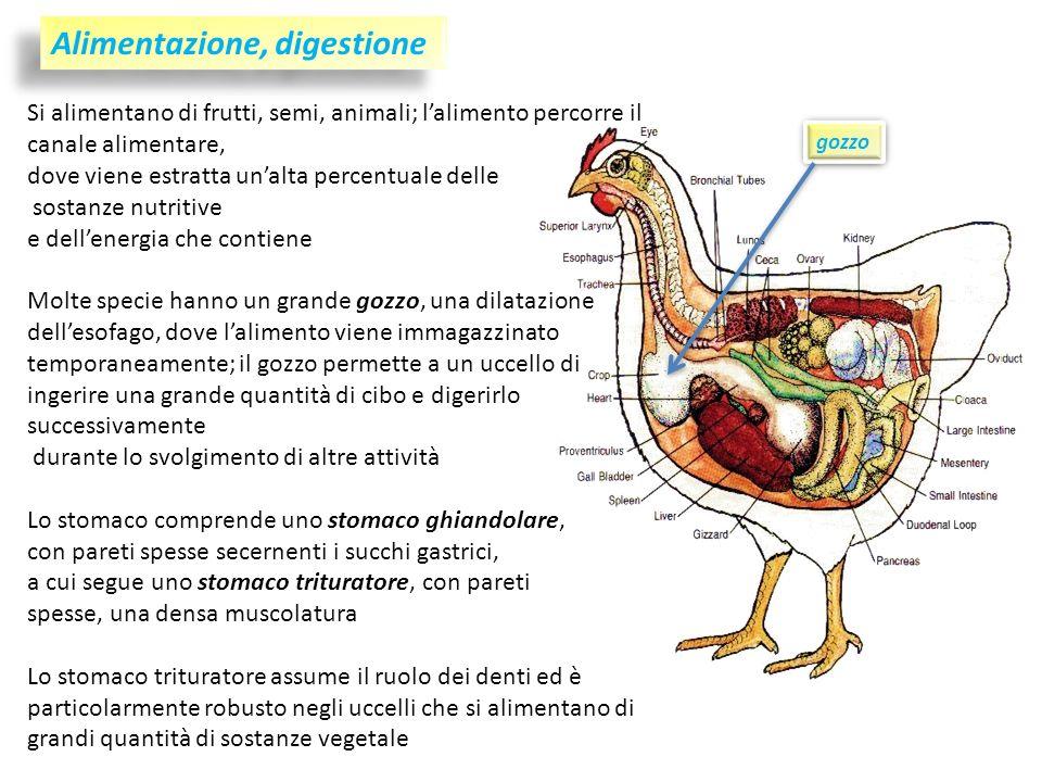 Alimentazione, digestione Si alimentano di frutti, semi, animali; lalimento percorre il canale alimentare, dove viene estratta unalta percentuale dell
