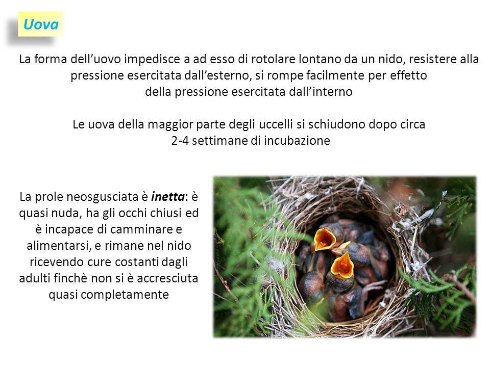 La forma delluovo impedisce a ad esso di rotolare lontano da un nido, resistere alla pressione esercitata dallesterno, si rompe facilmente per effetto della pressione esercitata dallinterno Le uova della maggior parte degli uccelli si schiudono dopo circa 2-4 settimane di incubazione Uova La prole neosgusciata è inetta: è quasi nuda, ha gli occhi chiusi ed è incapace di camminare e alimentarsi, e rimane nel nido ricevendo cure costanti dagli adulti finchè non si è accresciuta quasi completamente