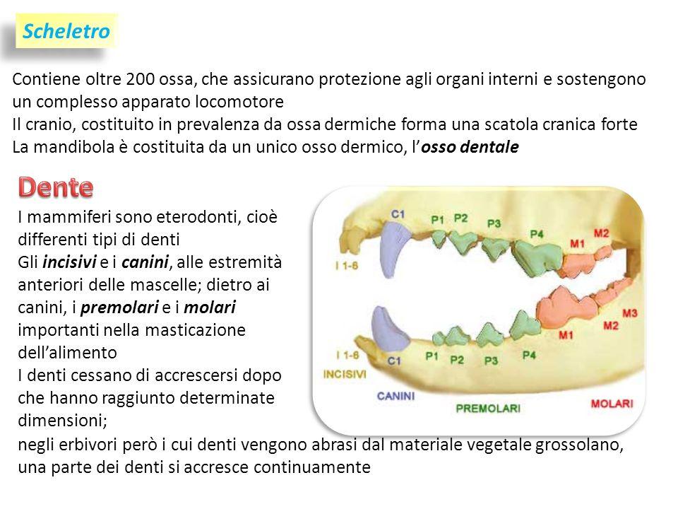 Scheletro Contiene oltre 200 ossa, che assicurano protezione agli organi interni e sostengono un complesso apparato locomotore Il cranio, costituito in prevalenza da ossa dermiche forma una scatola cranica forte La mandibola è costituita da un unico osso dermico, losso dentale I mammiferi sono eterodonti, cioè differenti tipi di denti Gli incisivi e i canini, alle estremità anteriori delle mascelle; dietro ai canini, i premolari e i molari importanti nella masticazione dellalimento I denti cessano di accrescersi dopo che hanno raggiunto determinate dimensioni; negli erbivori però i cui denti vengono abrasi dal materiale vegetale grossolano, una parte dei denti si accresce continuamente