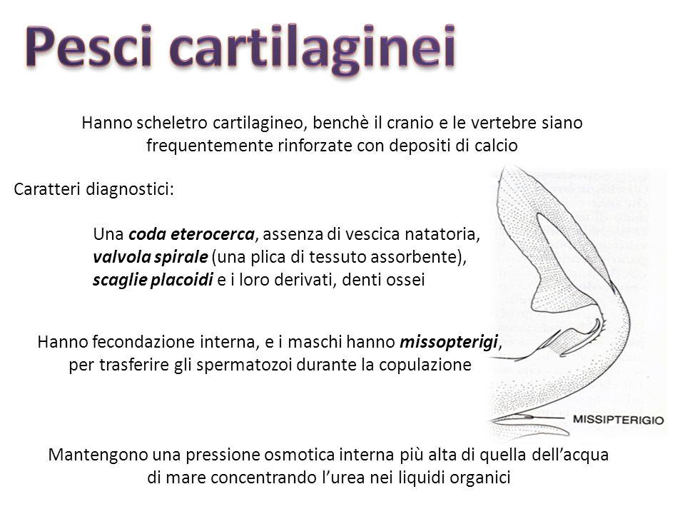 Hanno scheletro cartilagineo, benchè il cranio e le vertebre siano frequentemente rinforzate con depositi di calcio Una coda eterocerca, assenza di vescica natatoria, valvola spirale (una plica di tessuto assorbente), scaglie placoidi e i loro derivati, denti ossei Caratteri diagnostici: Mantengono una pressione osmotica interna più alta di quella dellacqua di mare concentrando lurea nei liquidi organici Hanno fecondazione interna, e i maschi hanno missopterigi, per trasferire gli spermatozoi durante la copulazione