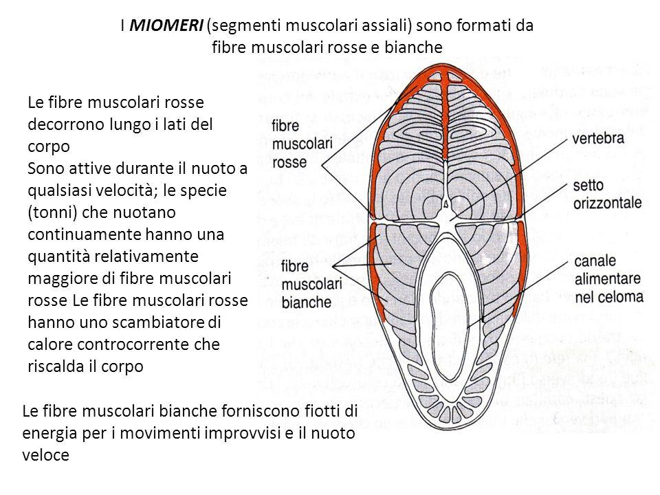 I MIOMERI (segmenti muscolari assiali) sono formati da fibre muscolari rosse e bianche Le fibre muscolari bianche forniscono fiotti di energia per i movimenti improvvisi e il nuoto veloce Le fibre muscolari rosse decorrono lungo i lati del corpo Sono attive durante il nuoto a qualsiasi velocità; le specie (tonni) che nuotano continuamente hanno una quantità relativamente maggiore di fibre muscolari rosse Le fibre muscolari rosse hanno uno scambiatore di calore controcorrente che riscalda il corpo