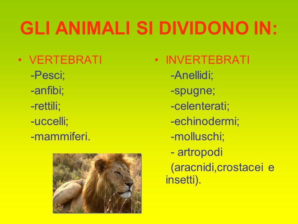 GLI ANIMALI SI DIVIDONO IN: VERTEBRATI -Pesci; -anfibi; -rettili; -uccelli; -mammiferi. INVERTEBRATI -Anellidi; -spugne; -celenterati; -echinodermi; -
