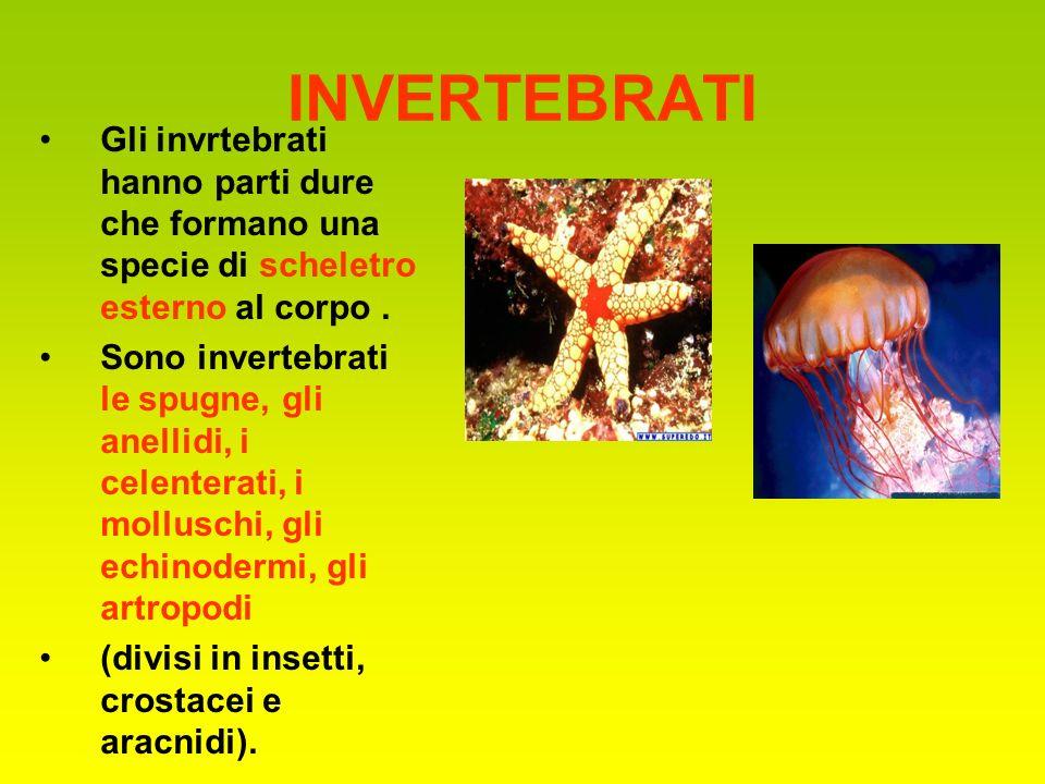INVERTEBRATI Gli invrtebrati hanno parti dure che formano una specie di scheletro esterno al corpo. Sono invertebrati le spugne, gli anellidi, i celen