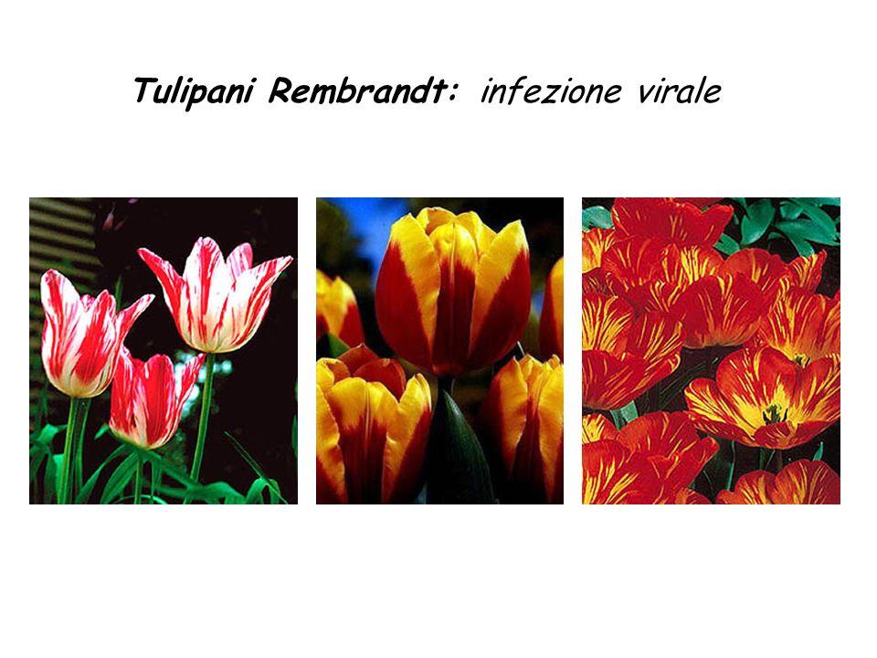 Tulipani Rembrandt:infezione virale