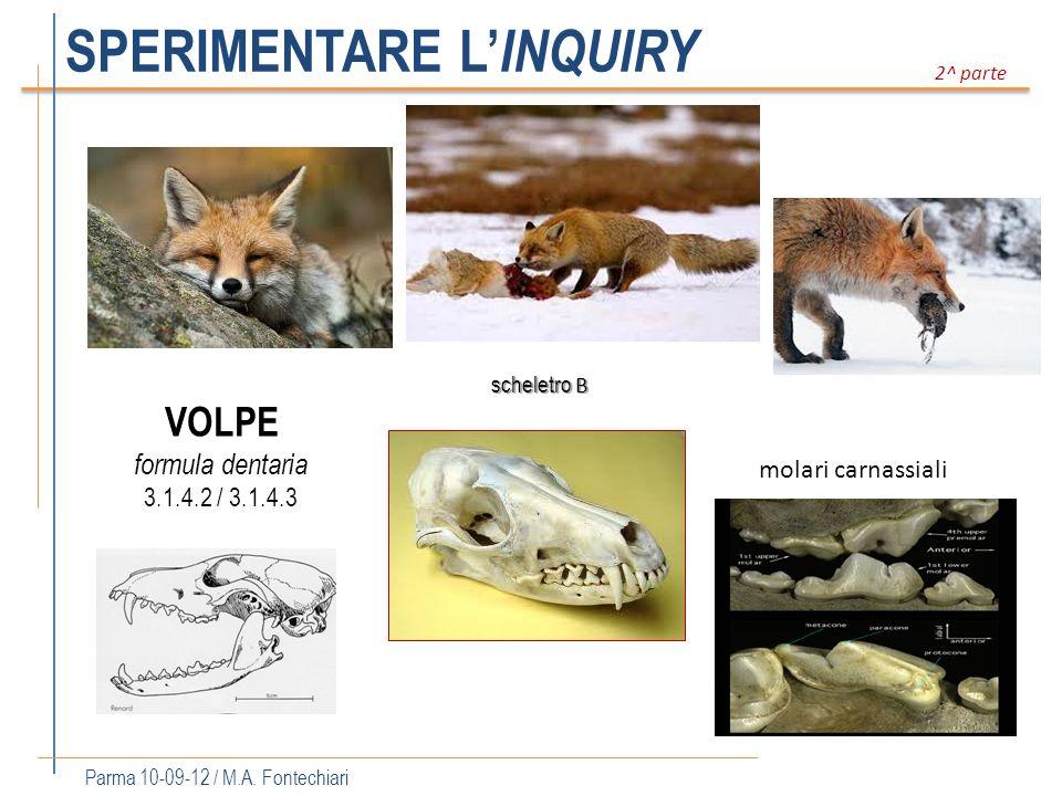 SPERIMENTARE L INQUIRY Parma 10-09-12 / M.A. Fontechiari 2^ parte scheletro B formula dentaria 3.1.4.2 / 3.1.4.3 VOLPE molari carnassiali