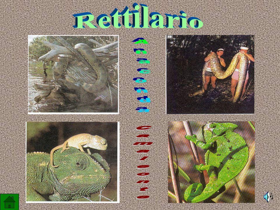 Esemplare giovane: colore rosso Esemplare adulto: colore verde smeraldo