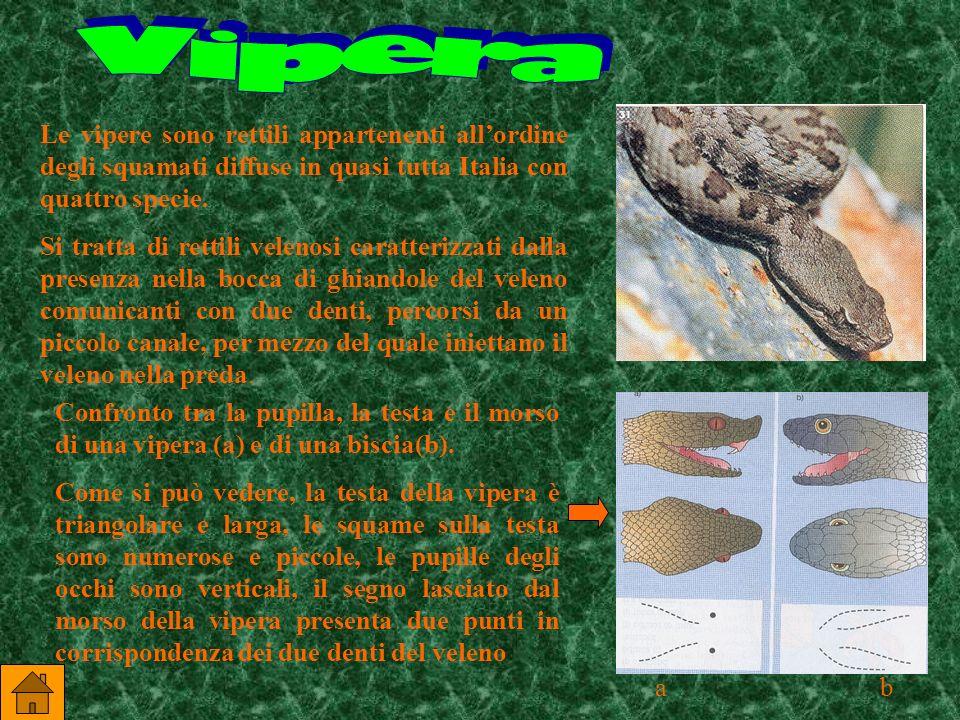 La pelle dei rettili è secca ed è protetta dallessiccamento da squame cornee.I rettili respirano esclusivamente aria e hanno polmoni ben sviluppati. S