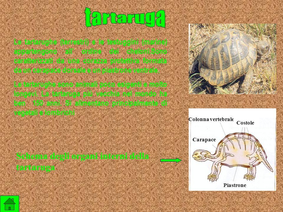 Le vipere sono rettili appartenenti allordine degli squamati diffuse in quasi tutta Italia con quattro specie. Si tratta di rettili velenosi caratteri
