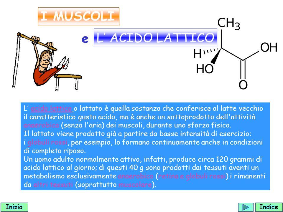 I MUSCOLI L acido lattico o lattato è quella sostanza che conferisce al latte vecchio il caratteristico gusto acido, ma è anche un sottoprodotto dell attività anaerobica (senza l aria) dei muscoli, durante uno sforzo fisico.