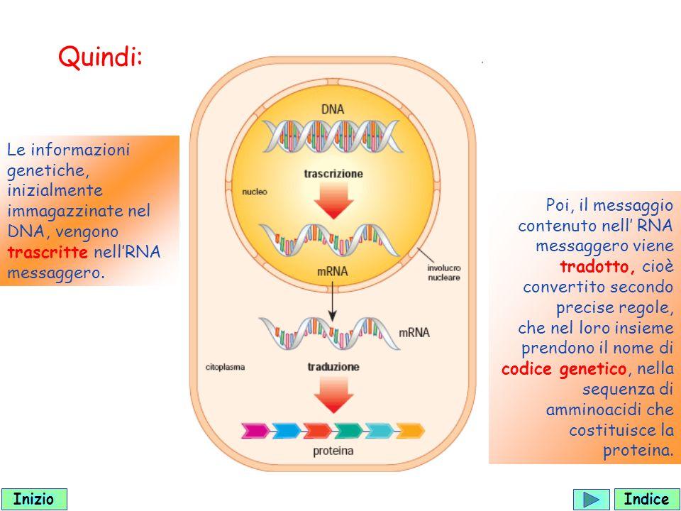Le informazioni genetiche, inizialmente immagazzinate nel DNA, vengono trascritte nellRNA messaggero.