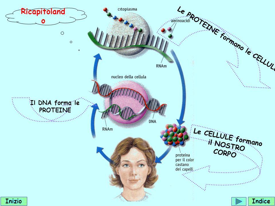 Ricapitoland o Il DNA forma le PROTEINE Le PROTEINE formano le CELLULE Le CELLULE formano il NOSTRO CORPO Indice Inizio