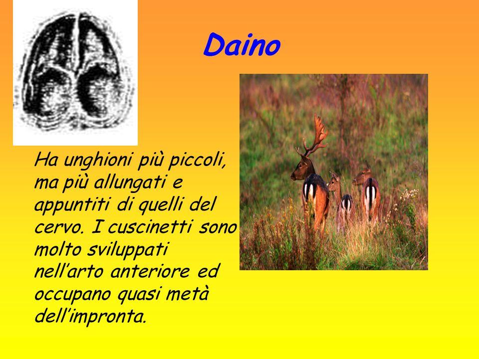 Daino Ha unghioni più piccoli, ma più allungati e appuntiti di quelli del cervo. I cuscinetti sono molto sviluppati nellarto anteriore ed occupano qua