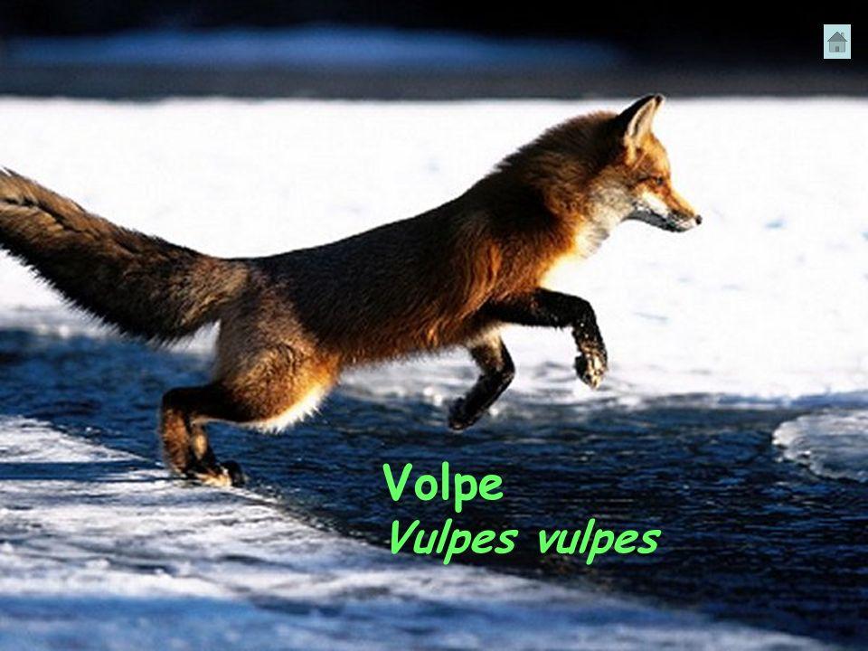 Volpe Vulpes vulpes