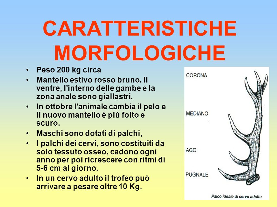 CARATTERISTICHE MORFOLOGICHE Peso 200 kg circa Mantello estivo rosso bruno. Il ventre, l'interno delle gambe e la zona anale sono giallastri. In ottob