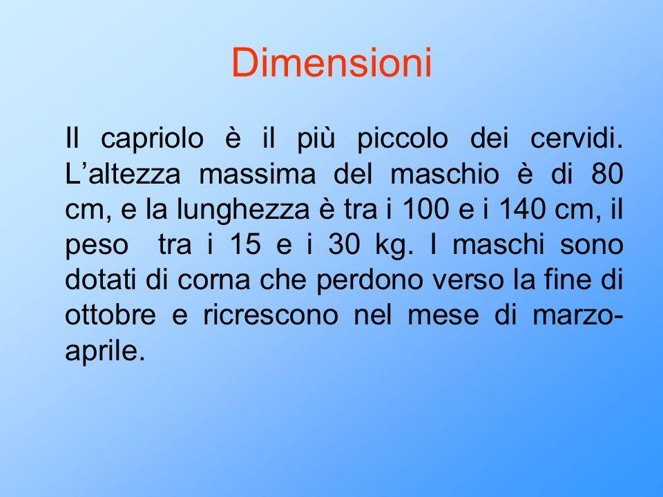 Dimensioni Il capriolo è il più piccolo dei cervidi. Laltezza massima del maschio è di 80 cm, e la lunghezza è tra i 100 e i 140 cm, il peso tra i 15