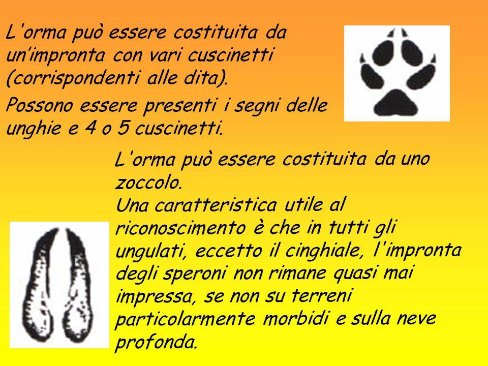 L'orma può essere costituita da unimpronta con vari cuscinetti (corrispondenti alle dita). Possono essere presenti i segni delle unghie e 4 o 5 cuscin