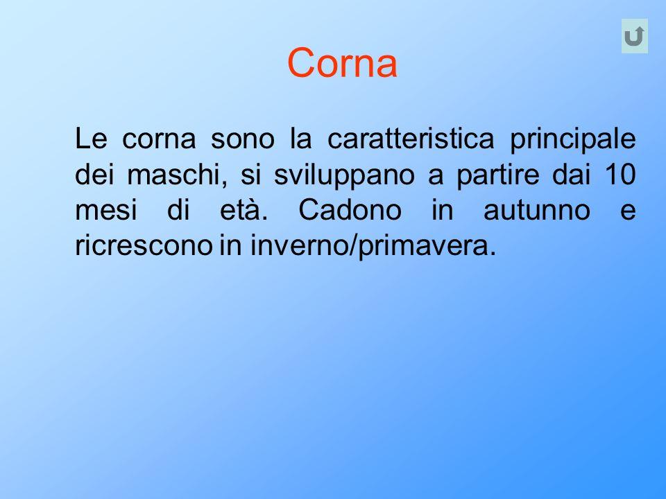 Corna Le corna sono la caratteristica principale dei maschi, si sviluppano a partire dai 10 mesi di età. Cadono in autunno e ricrescono in inverno/pri