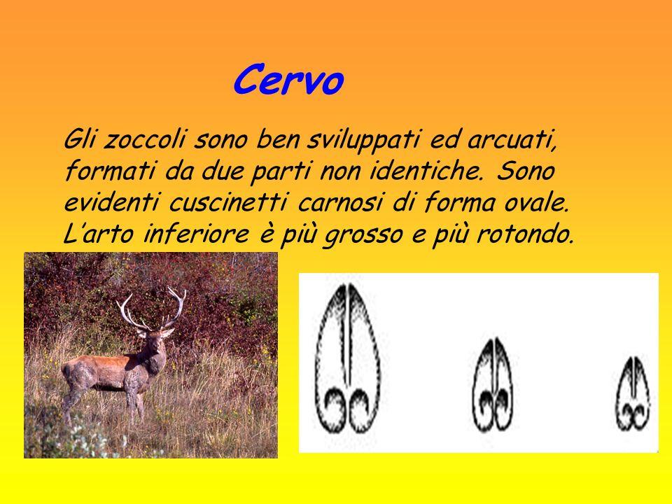 Cervo Cervus elaphus