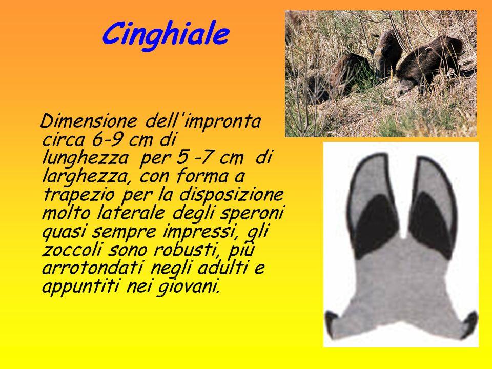 Volpe Sono presenti i segni delle unghie: impronta lunga circa 5 cm e larga 3,5 cm di forma ellittica.