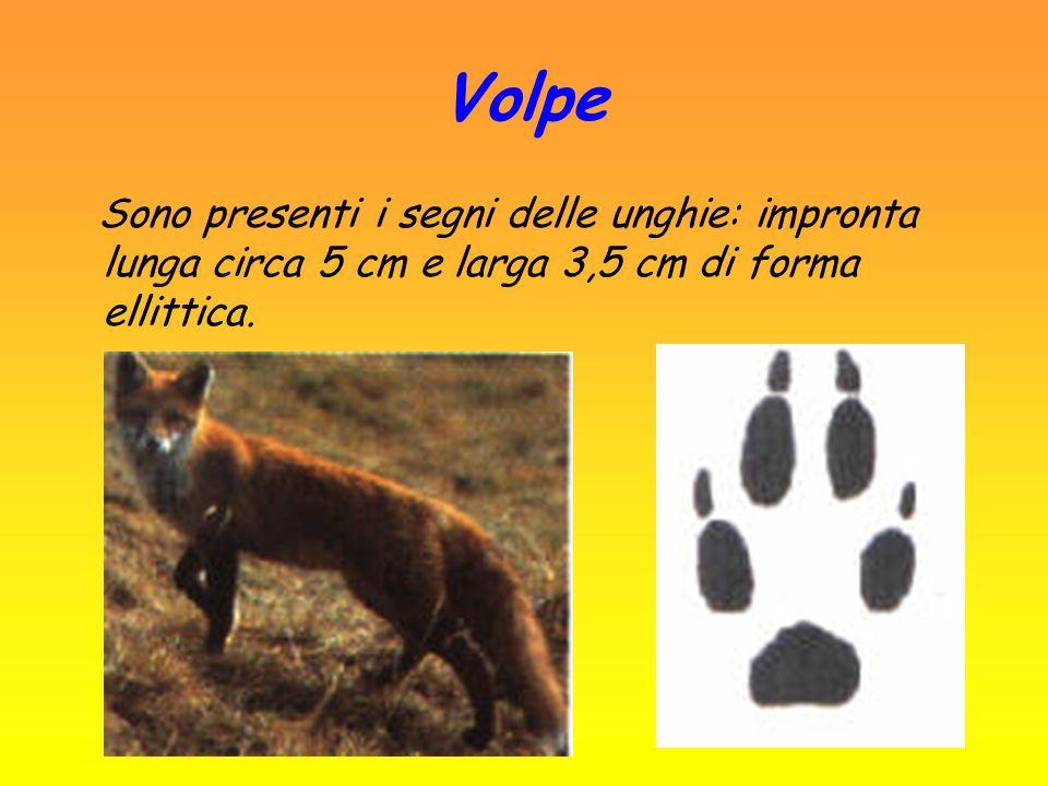 Lupo Impronta lunga circa 9 - 11 cm e larga 8 - 10 cm dalla forma più arrotondata.
