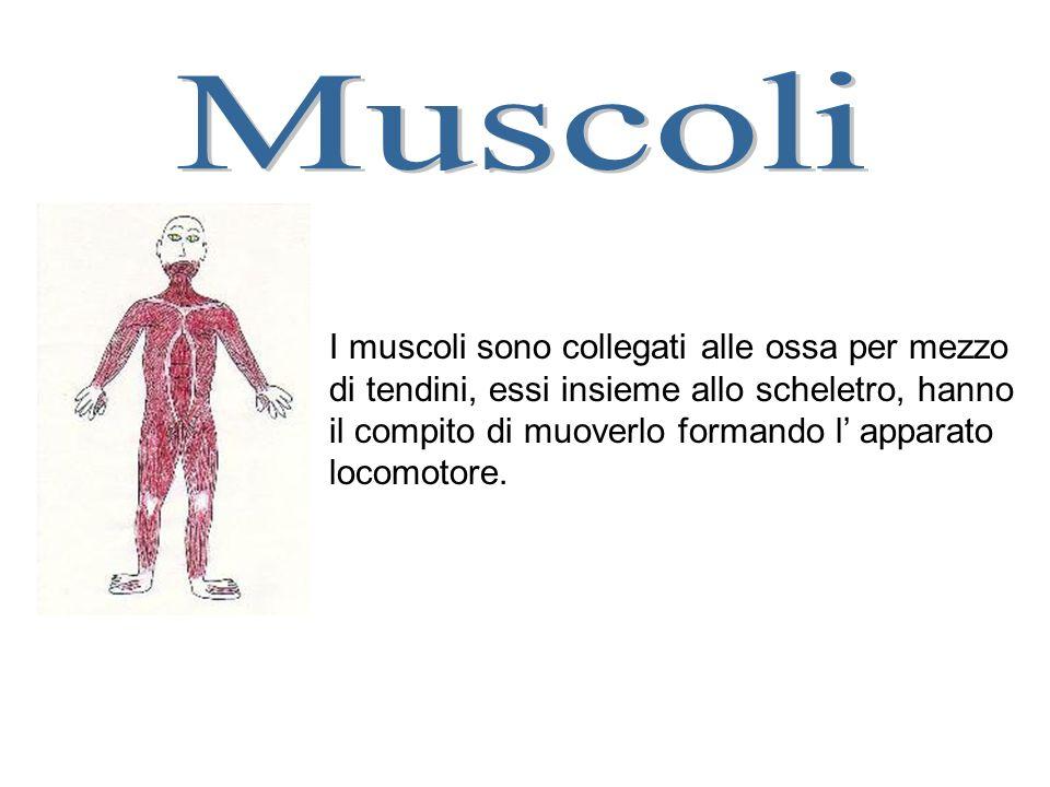 I muscoli sono collegati alle ossa per mezzo di tendini, essi insieme allo scheletro, hanno il compito di muoverlo formando l apparato locomotore.
