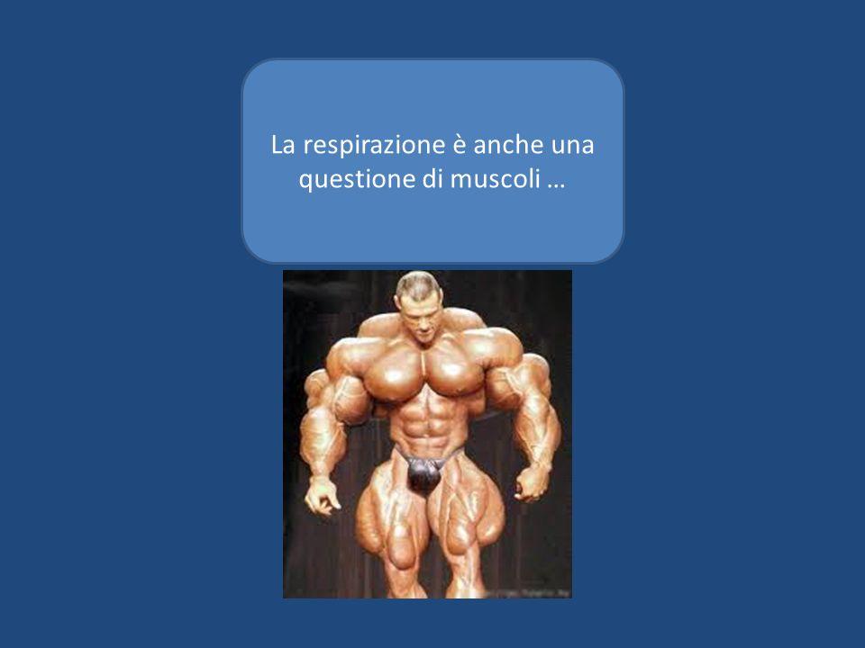 La respirazione è anche una questione di muscoli …