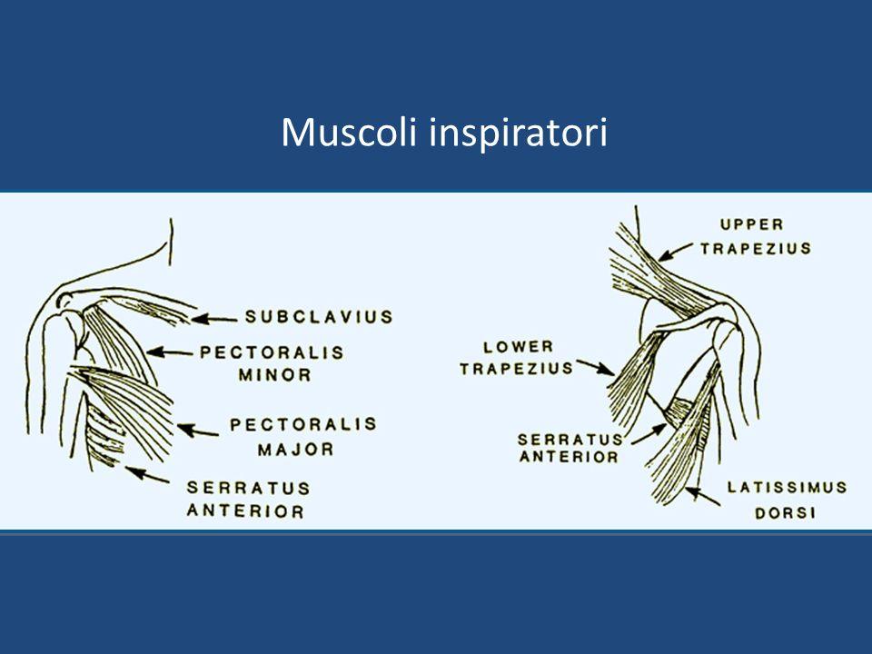Muscoli inspiratori