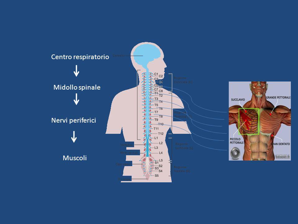 Centro respiratorio Midollo spinale Nervi periferici Muscoli