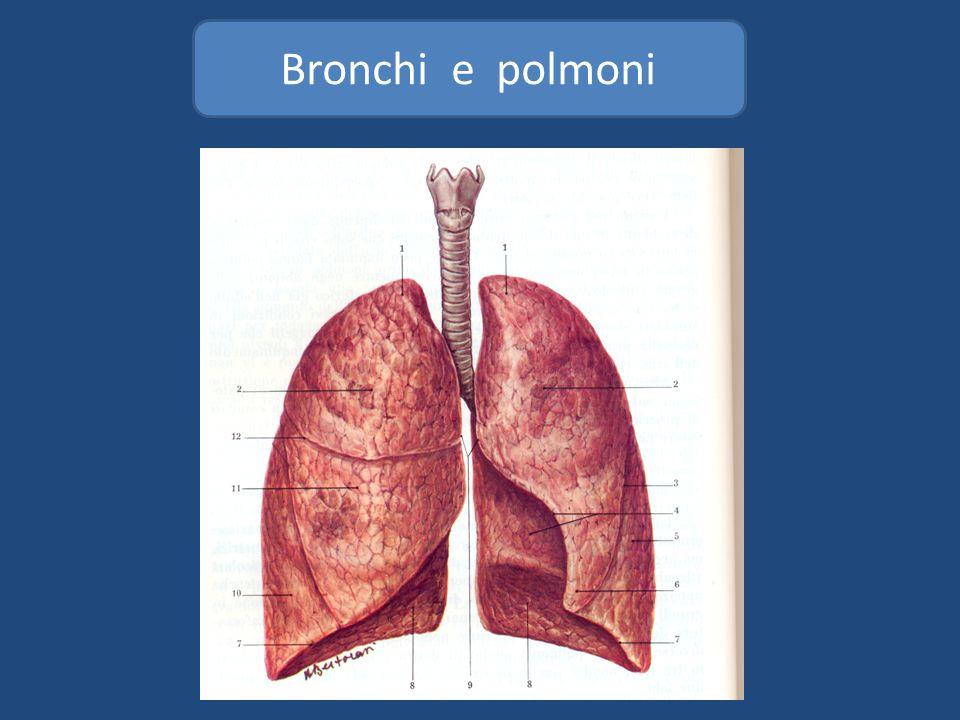 Albero bronchiale Lobo superiore 1.Apicale 2. Anteriore 1.