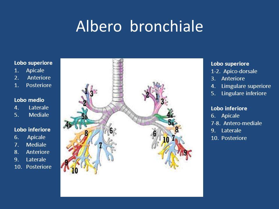 Albero bronchiale Lobo superiore 1. Apicale 2. Anteriore 1. Posteriore Lobo medio 4. Laterale 5. Mediale Lobo inferiore 6. Apicale 7. Mediale 8. Anter