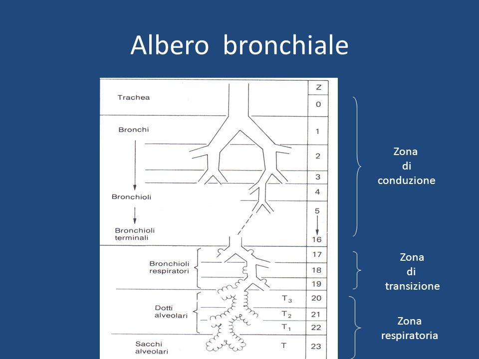 Albero bronchiale Zona di conduzione Zona di transizione Zona respiratoria