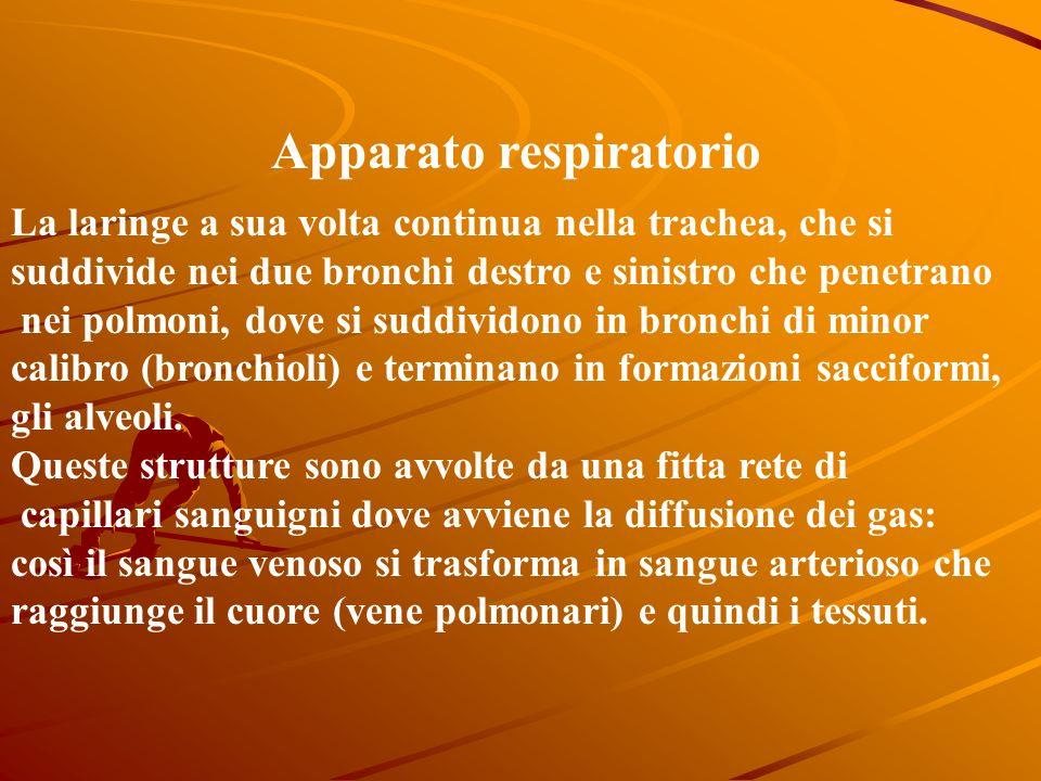 Apparato respiratorio E un complesso sistema deputato allo scambio dei gas: lO2 viene assimilato, mentre la CO2 viene eliminata. Lingresso dellaria av