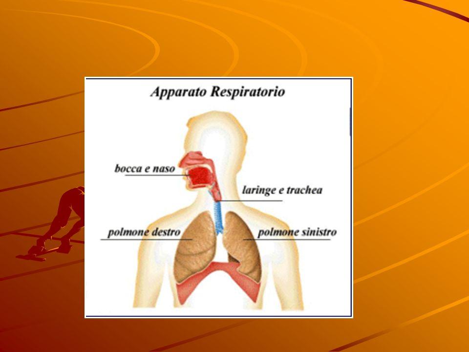 I polmoni sono contenuti allinterno della gabbia toracica (costituita da coste, sterno, vertebre e tessuto muscolare e di sostegno) e sono avvolti da