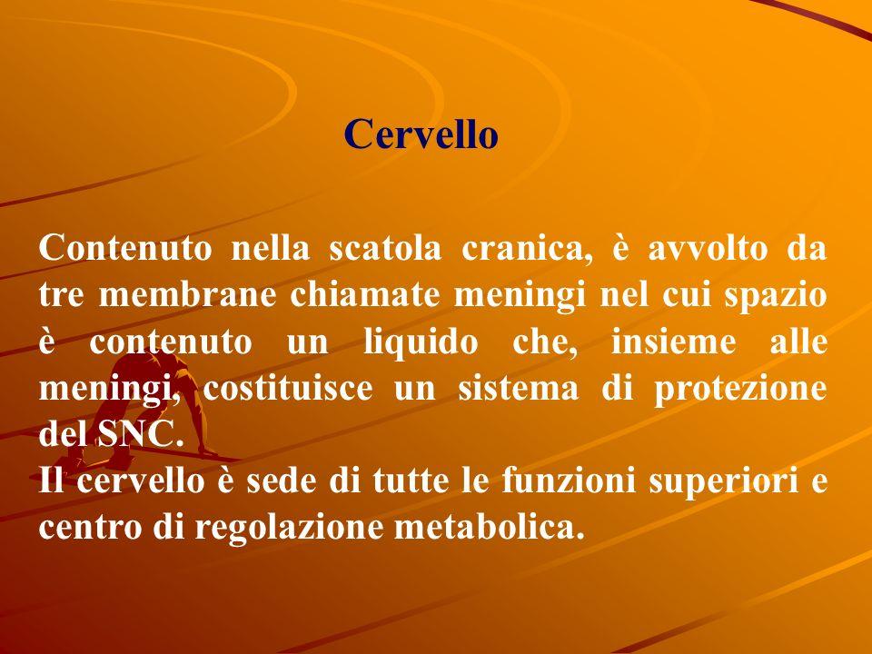 Sistema nervoso E una struttura complessa che si suddivide in SNC (Sistema Nervoso Centrale) Cervello midollo spinale SNP (Sistema nervoso Periferico)