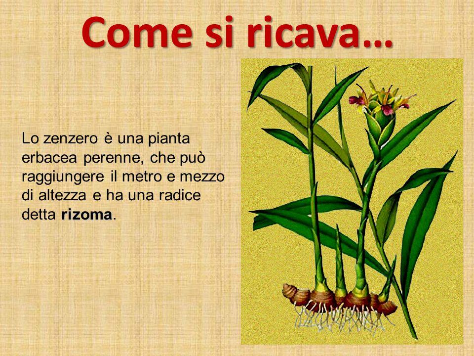 Come si ricava… rizoma Lo zenzero è una pianta erbacea perenne, che può raggiungere il metro e mezzo di altezza e ha una radice detta rizoma.