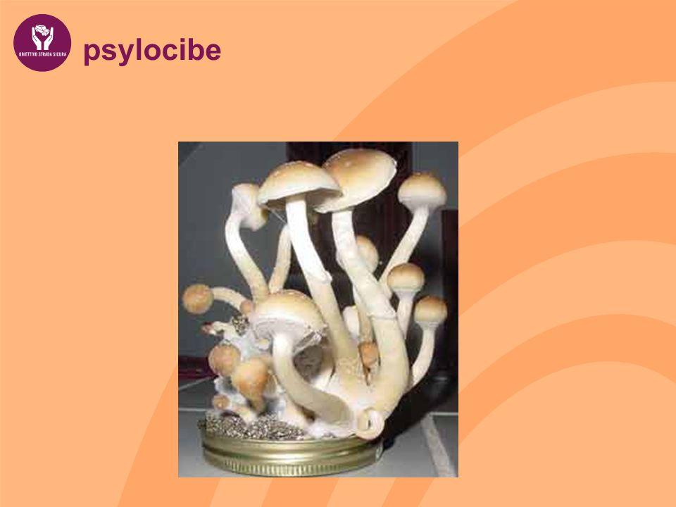 psylocibe