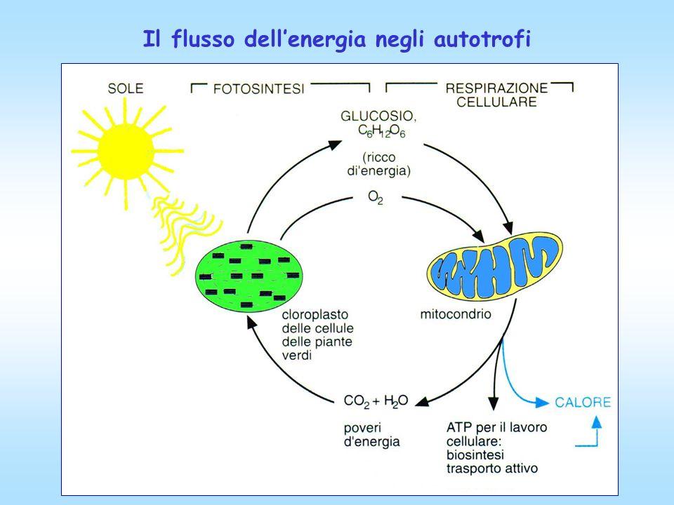 Il flusso dellenergia negli autotrofi