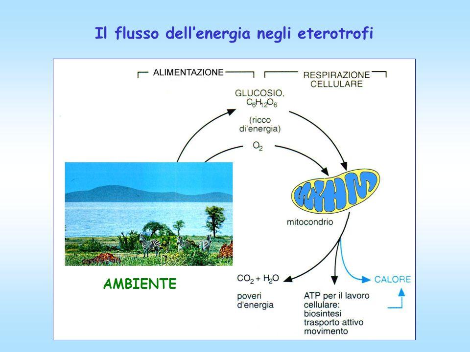 Il flusso dellenergia negli eterotrofi AMBIENTE